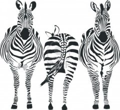 Zebre front row pack down